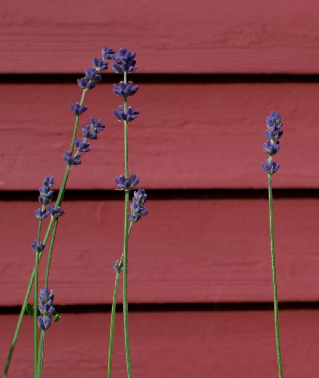 Billedet viser en lilla blomst