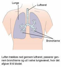 Viser hvordan luft passere igennem lungevævet, hvor ilten afgives til blodet.
